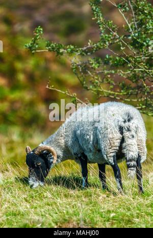 Black face sheep grazing on hillside - Stock Image
