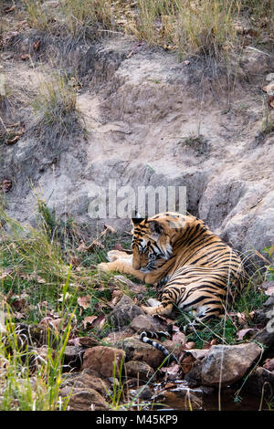 Two year old wild male Bengal tiger sleeping in Bandhavgarh Tiger Reserve, Madhya Pradesh, India - Stock Image