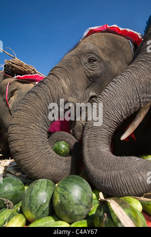 Thailand, Surin, Surin.  Elephants feasting at an Elephant Buffet during the annual Elephant Roundup festival. - Stock Image