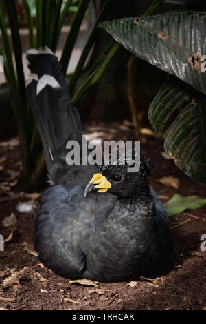 Yellow-knobbed Curassow - Stock Image