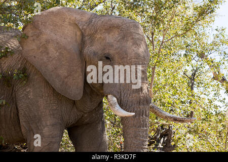 Africa, Namibia, Damaraland. Close-up of an African elephant. Credit as: Wendy Kaveney / Jaynes Gallery / DanitaDelimont.com - Stock Image