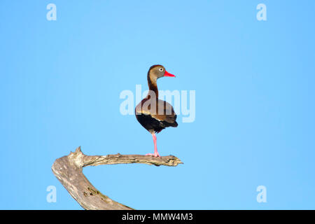 A Whistling Duck facing right on a tree branch in the Florida Everglades. - Stock Image