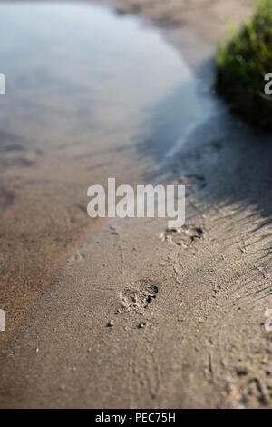 Dog paw prints In Sand by water - Stock Image