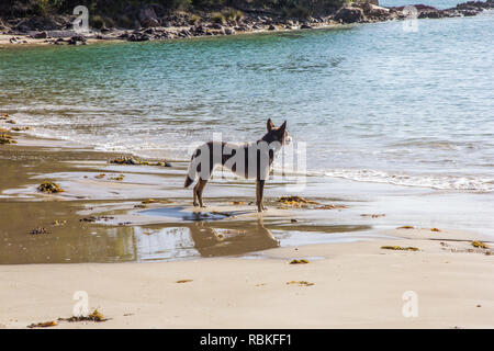 Dog looking out to sea,beach by Pambula river estuary, New South Wales, Australia - Stock Image