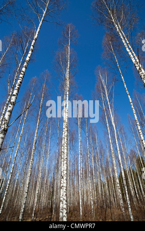 Leafless birch ( betula ) trees at Spring , Finland - Stock Image