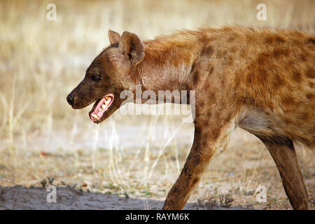 Spotted Hyena (Crocuta crocuta) in Profile. Satara, Kruger Park, South Africa - Stock Image