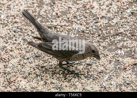 Femaile brown-headed cowbird. - Stock Image