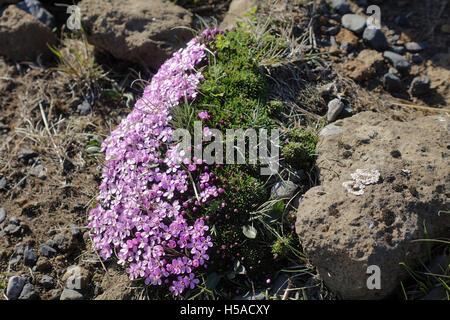 Icelandic flora in May sunshine - Stock Image
