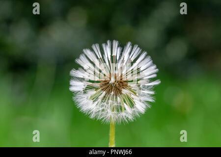 Close of up dandelion clock seed head - Stock Image