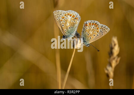 Pair of Common Blue butterfly (Polyommatus icarus) perched on a golden grass seed head during early summer sunset - Stock Image