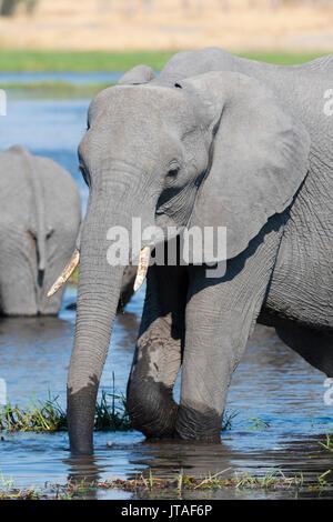 An African elephant (Loxodonta africana) drinking in the River Khwai, Okavango Delta, Botswana, Africa - Stock Image
