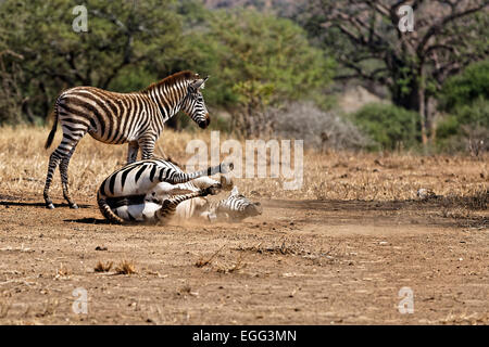 Zebra rolling in the dirt in Tangire National Park, Tanzania, East Africa. - Stock Image