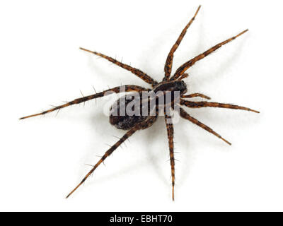 A female Wolf spider (Pardosa monticola) on white background. Wolf spiders are part of the family Lycosidae. - Stock Image