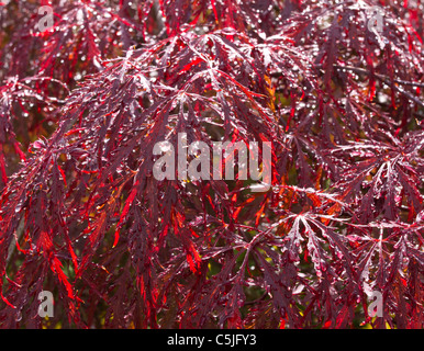 Vibrant Japanese maple background or texture image. - Stock Image
