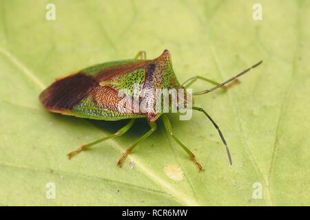 Overwintering Hawthorn Shieldbug (Acanthosoma haemorrhoidale) at rest on underside of ivy leaf. Tipperary, Ireland - Stock Image