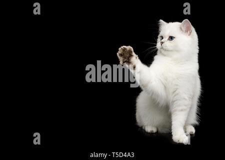 British White Cat with blue eyes Sitting and raising paw on Isolated Black Background, side view - Stock Image
