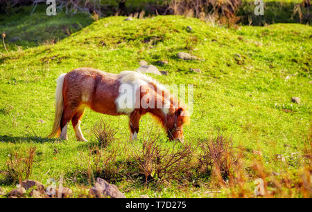 Cute little red and white pony grazing on the grass of a green meadow field on bright a sunny day - Stock Image