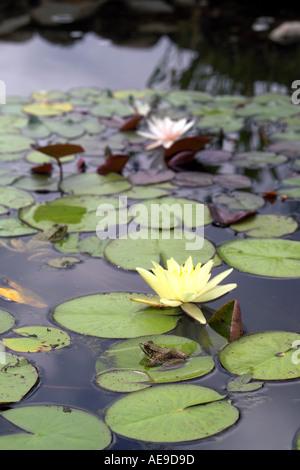 Lily pond Vermont - Stock Image