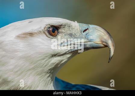 pale bellied sea eagle, Queensland, Australia - Stock Image