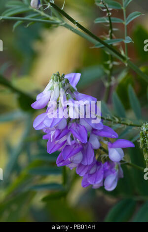 Blue pea flowers of the summer blooming perennial Goat;s rue, Galega officinalis - Stock Image