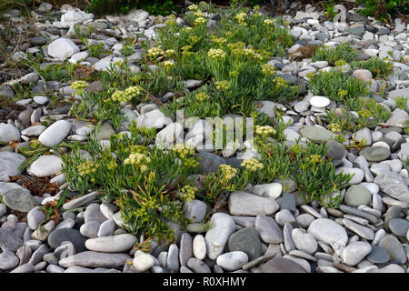 Crithmum maritimum (rock samphire) is an edible member of the flowering plant family Apiaceae. It is here growing on coastal shingle in North Wales. - Stock Image