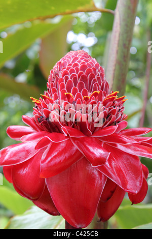 close up of a red ginger flower taken at Vanuatu botannical gardens vertical - Stock Image