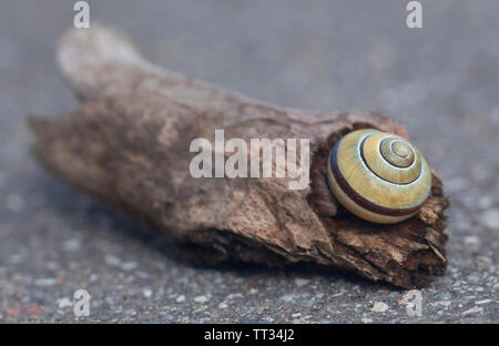 Closeup of a snail in a bogwoon on street - Stock Image