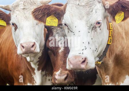 Cows, Czech Republic - Stock Image