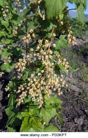 Ribes nigrum blackcurrant blooms. - Stock Image
