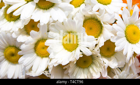 white yellow flower - Stock Image