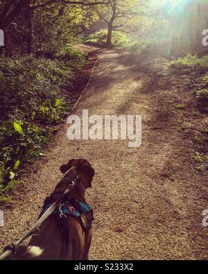 Boxer Dog Walk - Stock Image