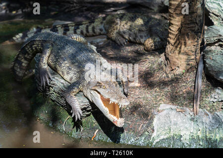 Asia big crocodile on river background, animal dangerous concept. - Stock Image