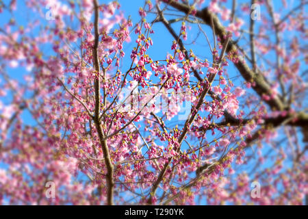 Cherry blossoms over blue sky background - Stock Image