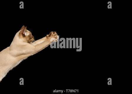 Playful Brown Cat Raising up paws, play with toy, isolated on black background, profile view - Stock Image