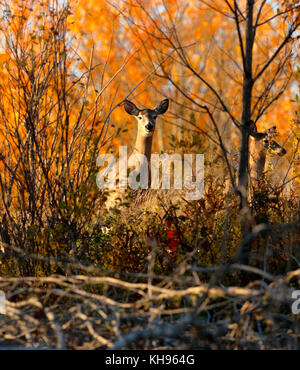 White-tailed deer among the trees in the fall near Sussex, Kings County, New Brunswick, Canada. - Stock Image