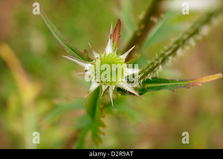 Young Spikey Green Flower Head of the Common Teasel - dispsacus fullonum - Stock Image