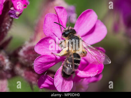 Andrena flavipes, the Yellow-legged Mining Bee on a flower in Spring (May) in West Sussex, England, UK. - Stock Image