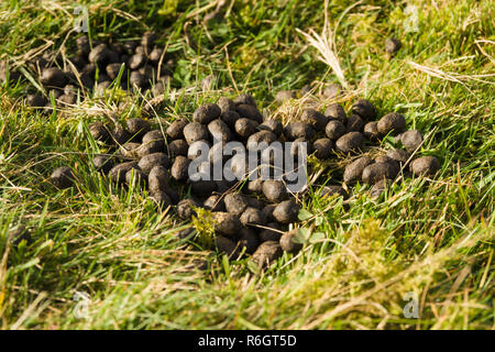 Sheep droppings in a rural field it can spread intestinal parasites and viruses to humans and other animals - Stock Image