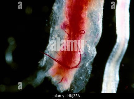 Agriculture - Rootknot Nematode (Meloidogyne incognita), mature male visible in a red stained cotton root (long - Stock Image