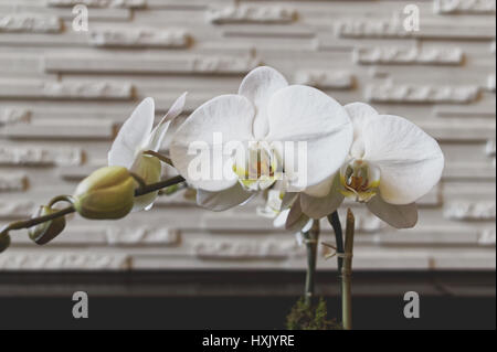 White orchids against an off white textured wall. - Stock Image
