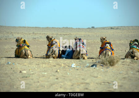 Indian men sit between their camels to shelter from the hot sun. Sam Sand Dunes, Rajasthan, India. - Stock Image