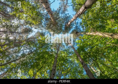 Tall,Fir,Pine,Trees,Tree,Looking Upwards,Blue Sky - Stock Image