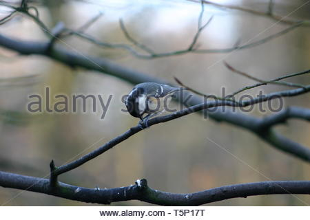 Coal Tit (Periparus ater) on a bare tree branch eating a seed - Stock Image