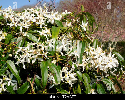 White, early spring flowers of the evergreen woody climber, Clematis armandii - Stock Image