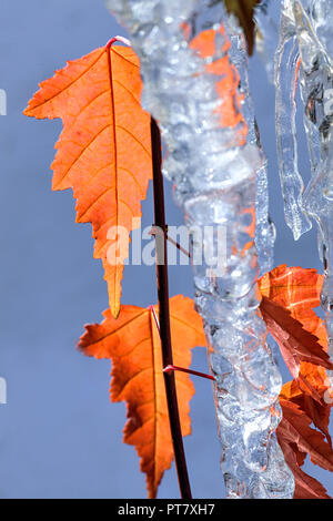 Close-up of an autumn leaves and icicles from the acer negundo tree. Also known as box elder, boxelder maple, ash-leaved maple, and maple ash - Stock Image