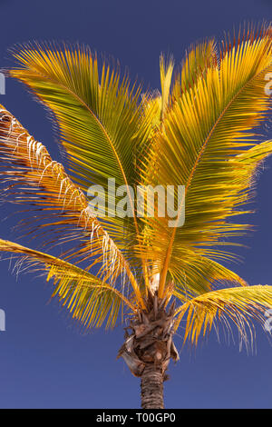 Palm tree at Puerto de Mogan, Gran Canaria, Canary Islands - Stock Image