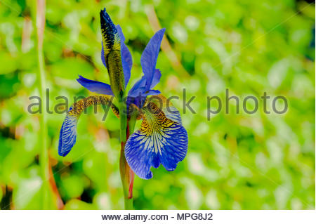 Blue Iris or Iris Sibirica out to bloom in early May, Liverpool, England, UK (macro close focus) Credit: Christopher Canty Photography/Alamy Live News - Stock Image