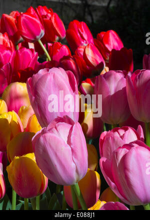 Hempstead, New York, U.S. - May 4, 2014 - The 31st Annual Dutch Festival, outdoors on the South Campus of Hofstra University, features tulips in bloom, such as these pink, red and yellow ones, throughout campus, with over 100 varieties in the Tulip Sampler Garden. A Long Island tradition. Credit:  Ann E Parry/Alamy Live News - Stock Image