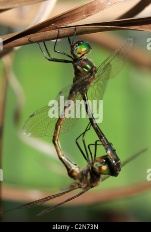 A pair of australian duskhawker dragonflies head to toe, seasonally  mating vertical - Stock Image