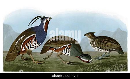 1 Crested Bobwhite, Colinus cristatus, 2 Mountail Quail, Oreortyx pictus, birds, 1827 - 1838 - Stock Image